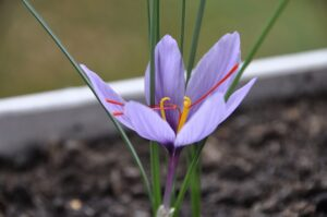 The Red Gold of Spices:  Saffron